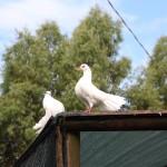 Agriturismo il Vermigliaio Alberese coppia di colombi