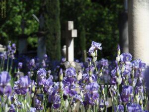 cimitero degli inglesi iris, Firenze