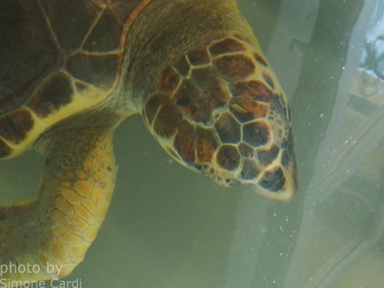 tartaruga TartaLife Asinara