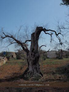olivo morto xylella salento